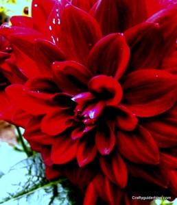 autumn garden - dahlia