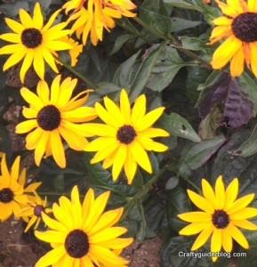 autumn garden - rudbeckia