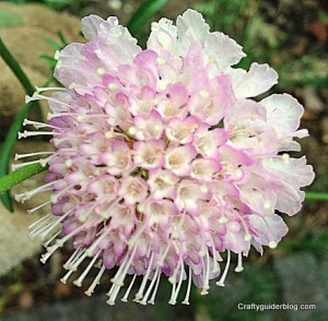 autumn garden - scabious