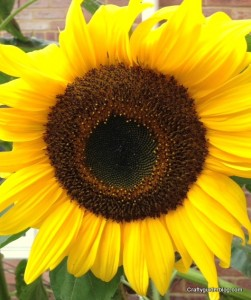 autumn garden - sunflower